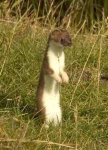 Short-tailed weasel (Mustela erminea), aka ermine or stoat, standing upright on rear legs.